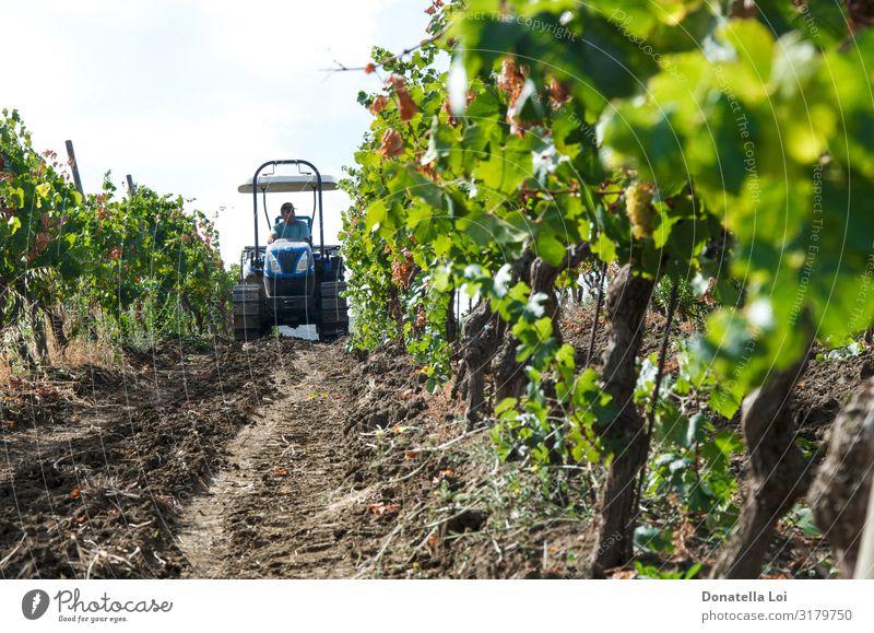 Traktor im Weinberg Lebensmittel Frucht Italienische Küche Lifestyle Sommer Arbeit & Erwerbstätigkeit Mensch 1 Natur Pflanze Sonnenlicht Herbst Blatt