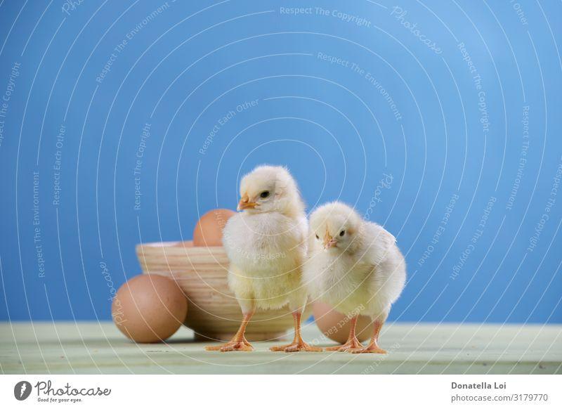 zwei Küken, Eier und Schüssel Schalen & Schüsseln Ostern Paar Tier Haustier 2 Tierpaar Diät füttern klein niedlich Kindheit blauer Hintergrund Lebensmittel
