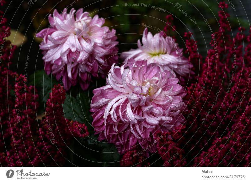 Violette purpurrote Asterblumen Astern Herbst herbstlich schön Blüte Blühend Blume Botanik Farbe mehrfarbig Gänseblümchen Dekoration & Verzierung Pflanze Garten