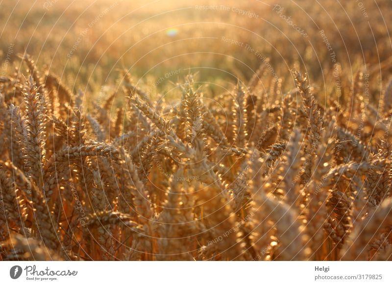 in der Abendsonne leuchtendes Getreide auf einem Kornfeld Lebensmittel Umwelt Natur Landschaft Pflanze Sommer Schönes Wetter Nutzpflanze Weizen Ähren Feld