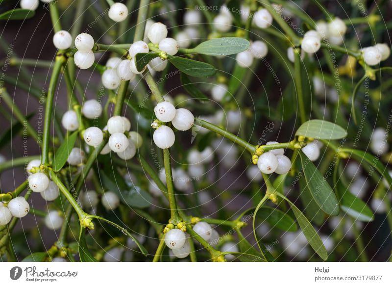 Nahaufnahme von grünen Mistelzweigen mit Blättern und vielen weißen Beeren Umwelt Natur Pflanze Winter Blatt Blüte Zweig hängen ästhetisch authentisch schön