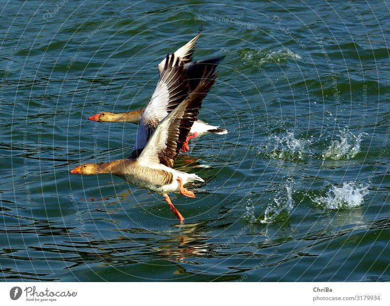 Wildgänse auf dem Ammersee Umwelt Natur Tier Wasser Schönes Wetter See Wildtier Vogel Gans Wildgans 2 Tierpaar fliegen frei natürlich Geschwindigkeit stark