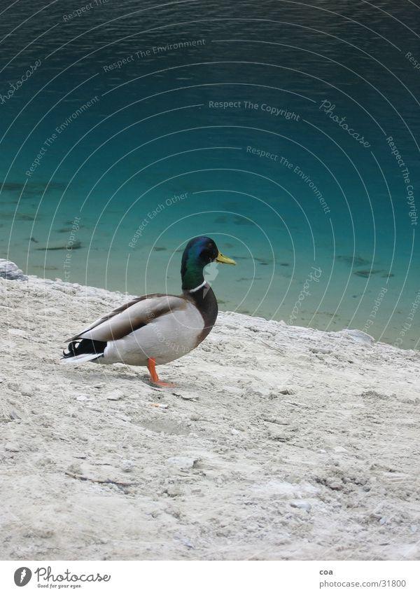 Enterich Erpel Feder grün grau Tier Schnabel Vogel caumasee Wasser Stein Sand Küste