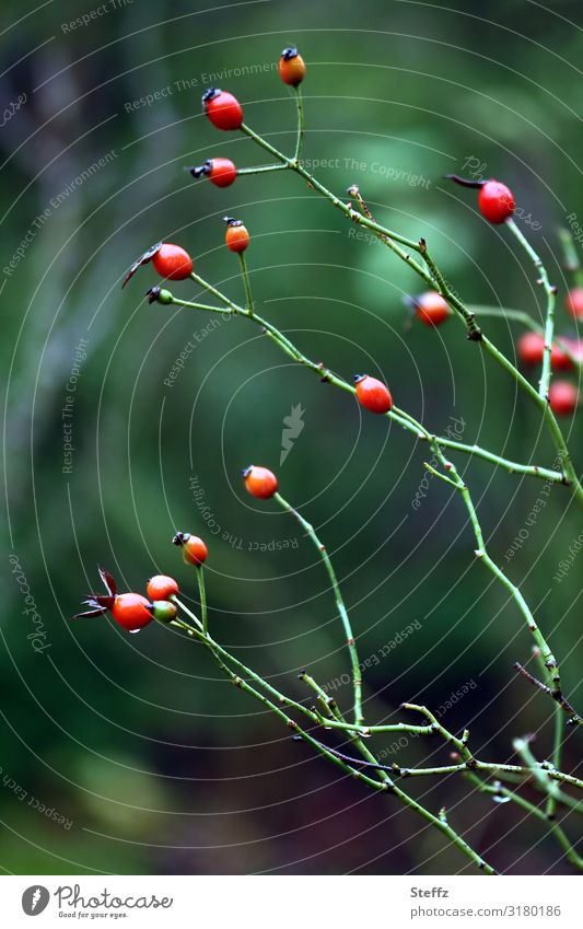 Hagebutten Natur Pflanze schön grün rot Gesundheit Herbst Umwelt natürlich Garten Vergänglichkeit Wandel & Veränderung viele Beeren herbstlich November