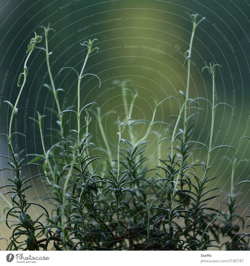 Nachwuchs beim Rosmarin Kräuter & Gewürze Natur Pflanze Sträucher Nutzpflanze Heilpflanzen Jungpflanze Wachstum frisch Gesundheit lecker natürlich grün Vorrat