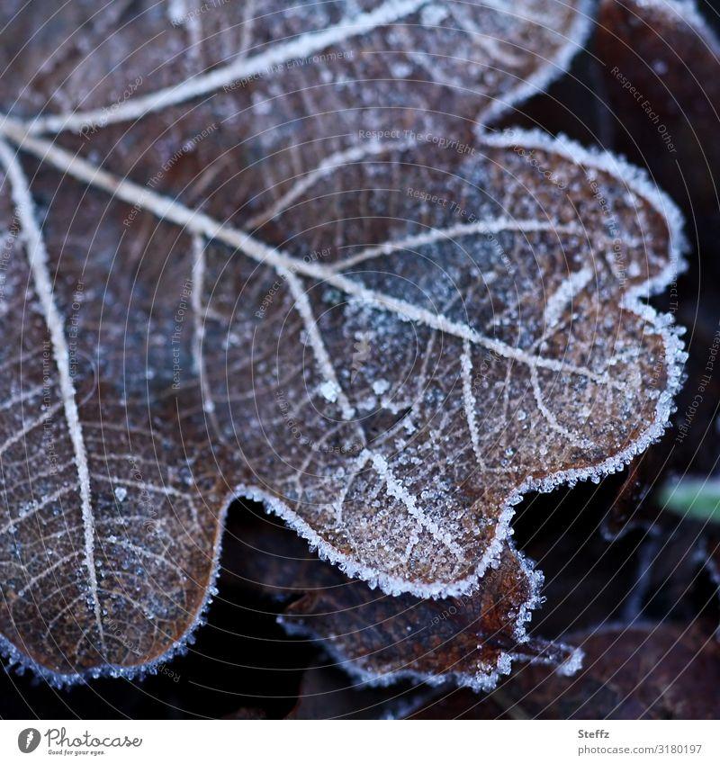 Eichenblatt kalt erwischt Kälteeinbruch Kälteschock Bodenfrost heimisch nordische Kälte Raureif Wintereinbruch Eiskristalle frostig Frost frieren nah braun
