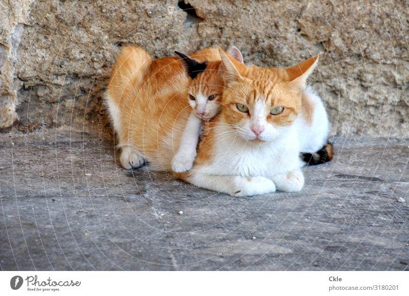 Familie Umwelt Bauwerk Mauer Wand Fassade Tier Haustier Wildtier Katze Tiergesicht Fell Katzenmutter 2 Tierpaar Tierjunges Stein beobachten berühren Erholung