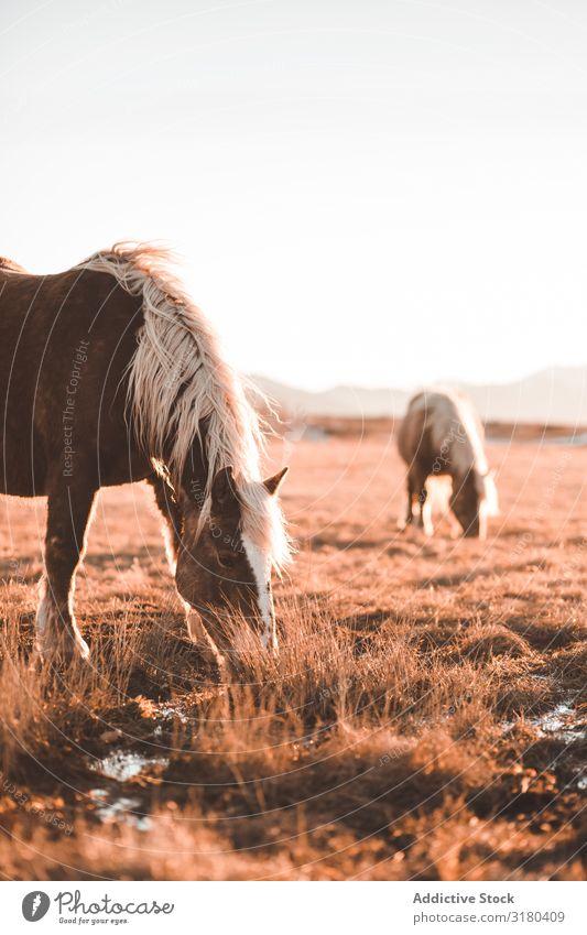 Wildpferde beim Weiden auf dem Feld Pferd weidend Wiese wild Berge u. Gebirge schön Mähne Tier Natur Säugetier pferdeähnlich Reiterin Hengst Jahreszeiten