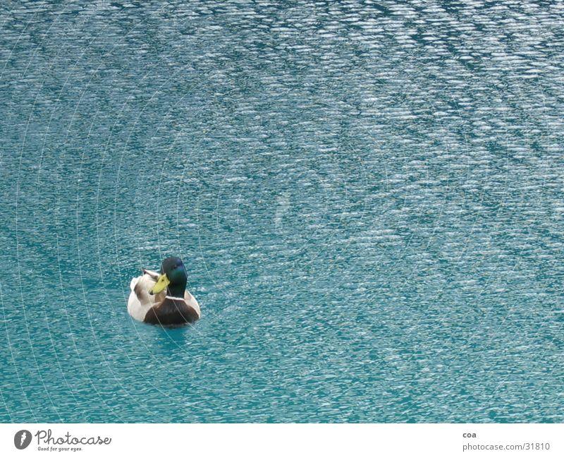 Duck Feder See Ente Wasser blau