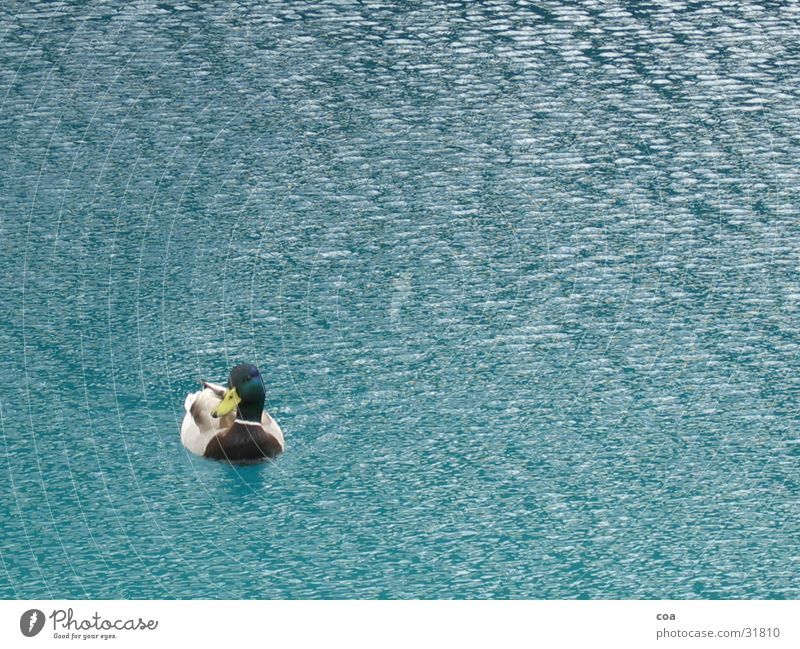 Duck Wasser blau See Feder Ente