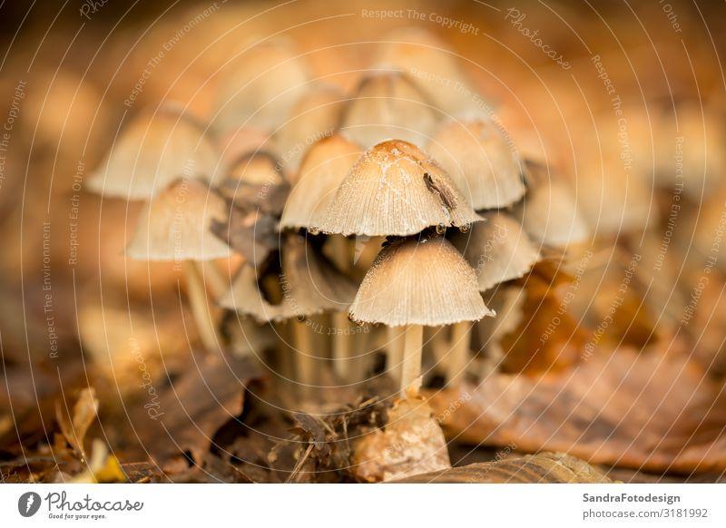 Mushrooms in the forest Erholung Natur Pflanze Erde Wald lecker braun autumn foliage mushroom ground green brown season fall red Hintergrundbild woods yard tree