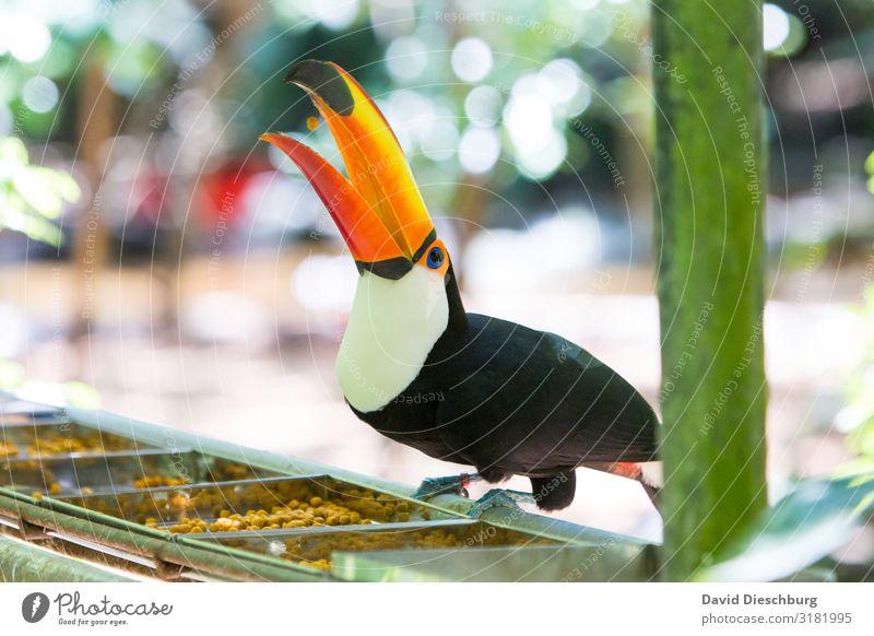Wurftalent Ferien & Urlaub & Reisen Abenteuer Expedition Natur Schönes Wetter Urwald Wildtier Vogel Flügel 1 Tier mehrfarbig gelb orange schwarz Idylle