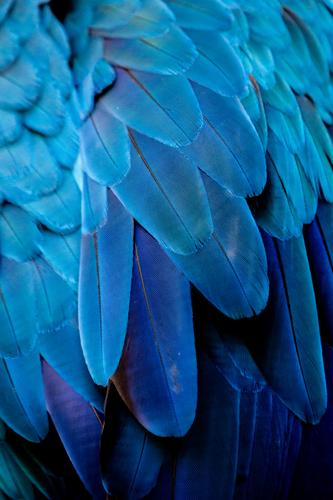 Arafedern Ferien & Urlaub & Reisen Abenteuer Expedition Natur Schönes Wetter Urwald Wildtier Vogel Flügel Zoo Streichelzoo blau schwarz Brasilien Amazonas Feder