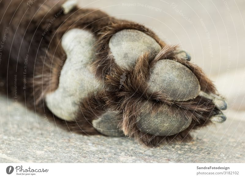 Paw of an old brown Labrador Retriever Sommer Sport Familie & Verwandtschaft Fuß Natur Park Tier Hund Pfote füttern kuschlig Lebensfreude adorable mammal lying