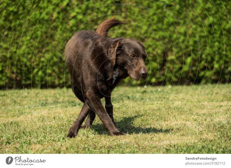 An old brown Labrador Retriever in the garden Sommer Garten Sport Familie & Verwandtschaft Natur Park Tier Hund 1 füttern Spielen kuschlig klug braun