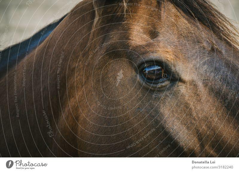 Auge des braunen Pferdes Detail schön Reitsport Reiten Tier Haustier Zoo Streichelzoo 1 klug braunes Auge heimisch in die Kamera schauen Nahaufnahme