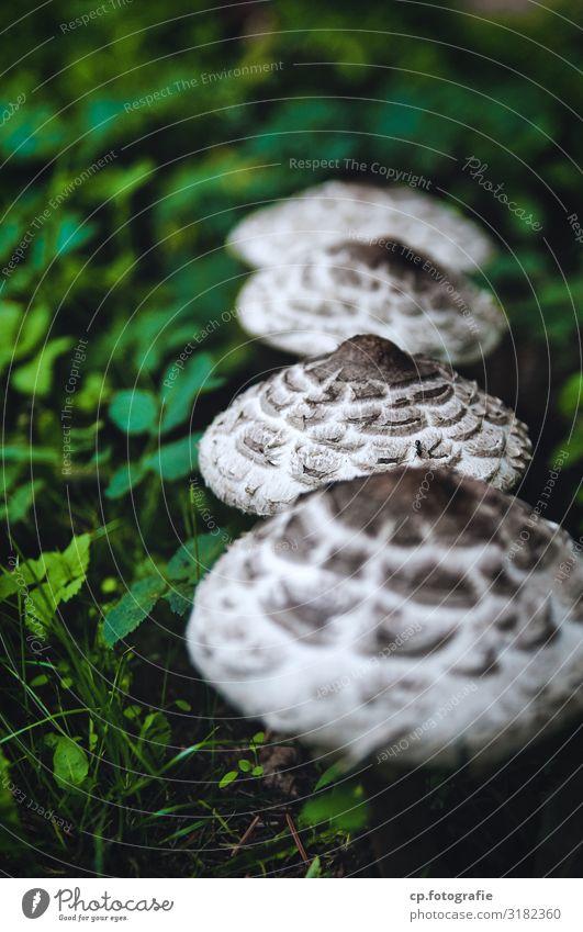 Parasol-Pilze die in einer Reihe wachsen Tiefenunschärfe Spätsommer Natur Außenaufnahme Farbfoto Lebensmittel frisch Wald
