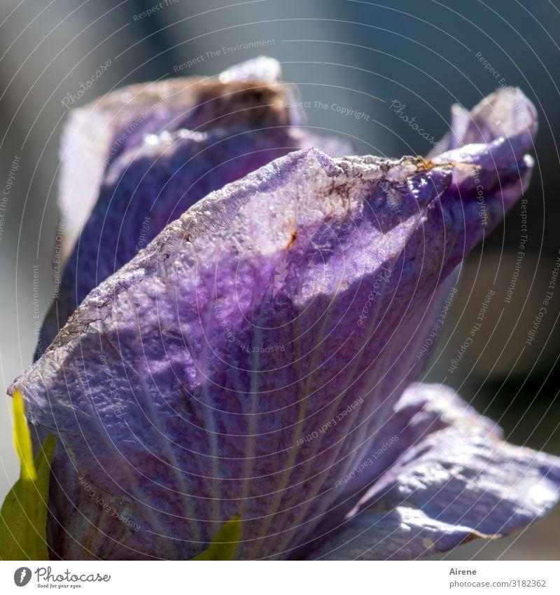 alt | Spuren der Vergänglichkeit Hibiskus Blüte violett angefressen blühen Verfall natürlich Blume durchlöchert zerfressen Roseneibisch blühend sommerlich Natur