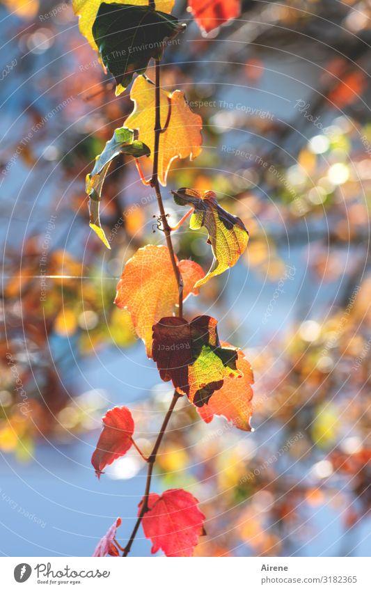 es liegt ein Leuchten in der Luft Herbst Herbstlaub gold Zweig rot glänzend leuchten Himmel Blatt Baum Sonnenlicht positiv zart lichtvoll orange himmelblau