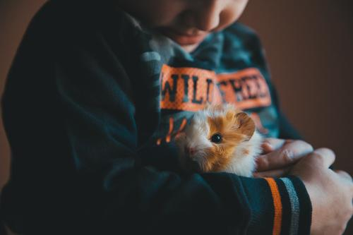 Kleines Meerschweinchen in den Händen des Kindes Freude Glück Kleinkind Junge Freundschaft Kindheit Hand 1 Mensch 1-3 Jahre Tier Haustier Lächeln Fröhlichkeit