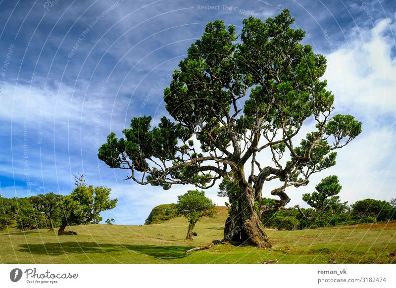 Alter Lorbeerbaum Umwelt Natur Landschaft Pflanze Wetter Schönes Wetter Baum Grünpflanze ästhetisch verrückt grün Kraft Verschwiegenheit träumen Stolz alt