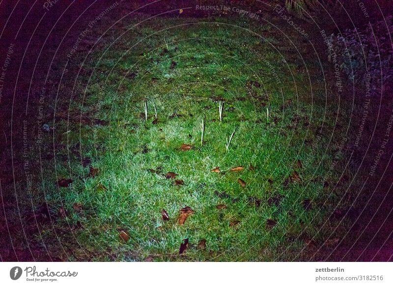 Knoblauch im Taschenlampenlicht Natur Pflanze grün ruhig dunkel Herbst Wiese Gras Garten Textfreiraum Wachstum Rasen Schrebergarten Kleingartenkolonie Zwiebel
