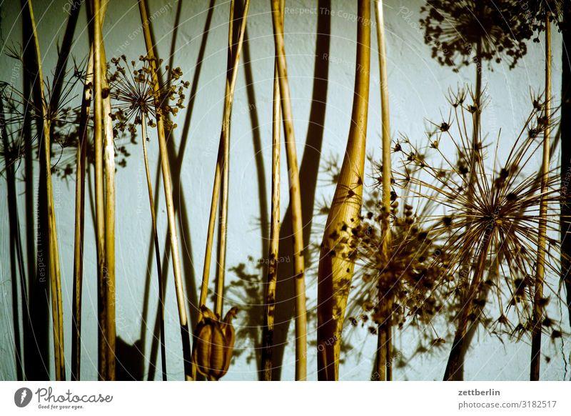 Trockenblumen Blume Blüte Garten Gras Menschenleer Natur Pflanze Sträucher Textfreiraum Tiefenschärfe Zweig Doldenblüte Strohblume Spargel Strukturen & Formen