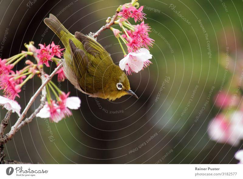 Mejiro in Japan während der Kirschblüten-Saison Pflanze Tier Frühling Schönes Wetter Baum Blüte Tokyo Vogel mejiro grün rosa Tierliebe Idylle Japanisch