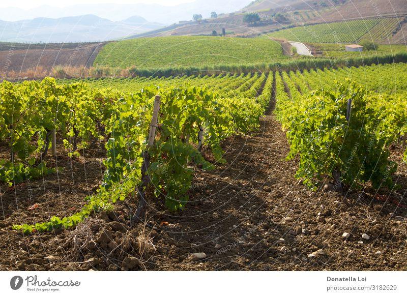 Weinberge in Sizilien Frucht Italienische Küche Sommer Landwirtschaft Forstwirtschaft Industrie Natur Landschaft Pflanze Erde Herbst Blatt Nutzpflanze Feld