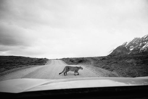 Puma Natur Tier Straße PKW elegant Wildtier Abenteuer Chile Südamerika Patagonien Windschutzscheibe Abenteurer geschmeidig