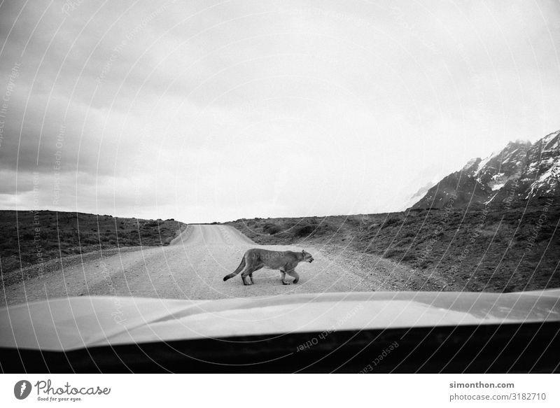 Puma Natur Tier Wildtier 1 Abenteuer Chile Südamerika Patagonien geschmeidig Abenteurer elegant PKW Windschutzscheibe Straße Schwarzweißfoto Außenaufnahme Tag