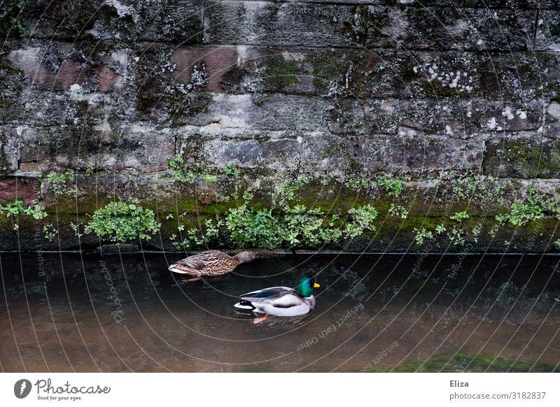 Entis Wildtier Entenvögel 2 Tier grün Wasser Kanal Mauer Paar Schwimmen & Baden Farbfoto Außenaufnahme Menschenleer Textfreiraum links Textfreiraum rechts