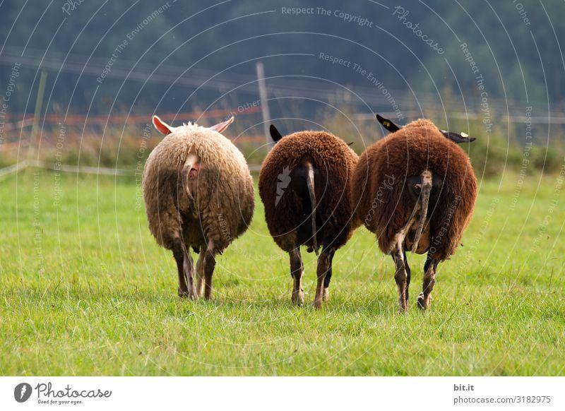 Dreiklang l Zwei schwarze Schafe. Schafherde Weide Wiese Tier Natur Herde Nutztier Gras Landschaft Tiergruppe Wolle grün Umwelt Fressen Fell Landwirtschaft