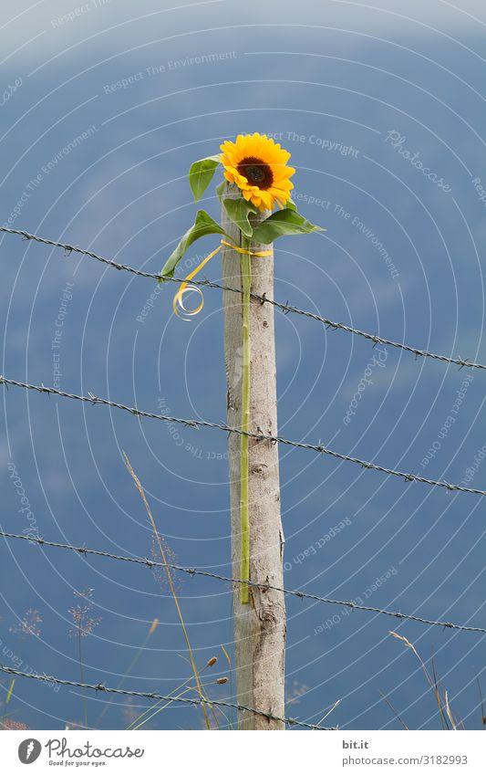 1400 l Sonnige Aussichten, ohne Grenzen... Natur Pflanze schön Landschaft Blume Umwelt Freiheit Klima Denkmal Umweltschutz Sonnenblume Stacheldraht Zaunpfahl