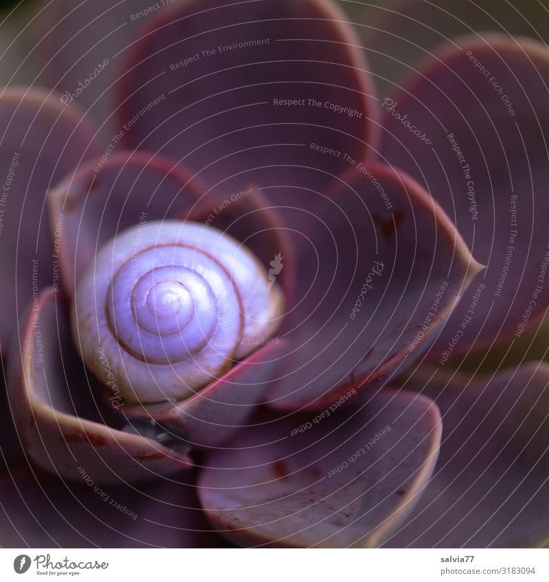 geborgen Umwelt Natur Pflanze Blatt Wildpflanze Topfpflanze Hauswurz Fetthenne Crassula Garten Tier Schnecke 1 ästhetisch Schutz Symmetrie Strukturen & Formen
