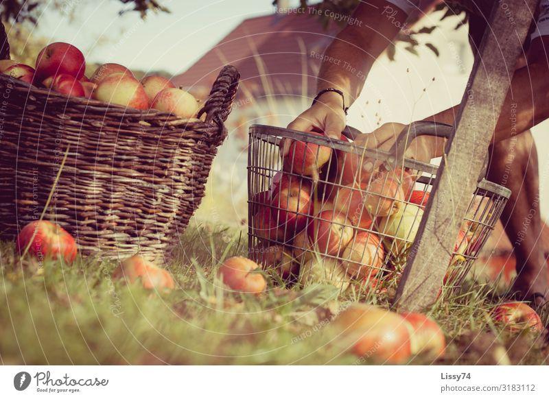Apfelernte Frucht Häusliches Leben Haus Garten 1 Mensch 30-45 Jahre Erwachsene Sommer Arbeit & Erwerbstätigkeit frisch Gesundheit Billig natürlich saftig süß