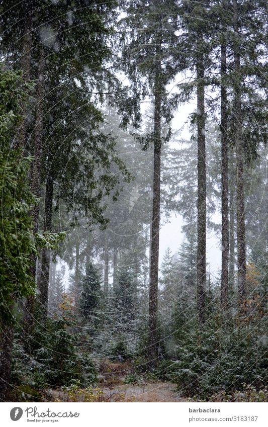 Waldspaziergang mit Schneeflocken Landschaft Urelemente Herbst Winter Nebel Eis Frost Schneefall Schwarzwald genießen dunkel hoch kalt grau grün weiß Stimmung