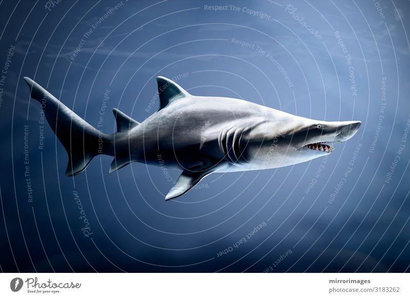 Natur blau Meer Tier Leben grau wild gefährlich groß Mund tief tropisch Aquarium Tiger Haifisch Fleischfresser