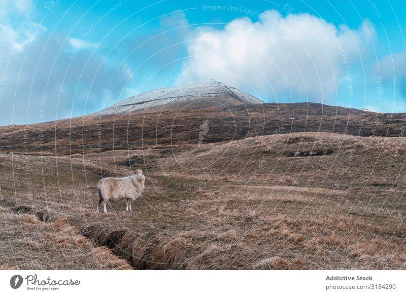 Färöerschafe auf der Weide Schaf Hügel Føroyar Fressen Gras regenarm Wolken Himmel Landschaft wollig Schafherde Tier Bauernhof Vieh Landwirtschaft ländlich