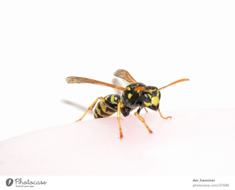 Wespe - Vespina schwarz gelb Flügel Insekt Aggression Wespen Zange Chitin