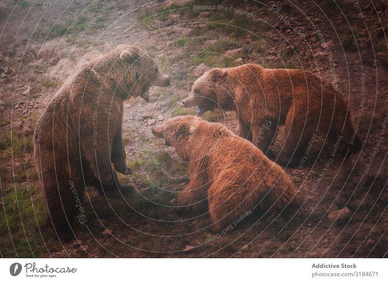 Bärenmutter spielt mit Bärenjungen Mutter Tierjunges braun Natur Spielen Tierwelt Säugetier groß Risiko Familie & Verwandtschaft Fauna Mutterschaft kampfstark