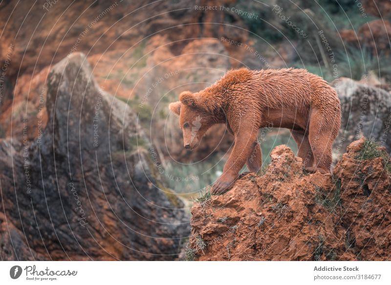 Braunbär beim Wandern in felsigem Gelände Bär braun laufen Natur Tierwelt Säugetier groß Risiko Fauna kampfstark furchterregend Grizzly riesig Umwelt Pelzmantel
