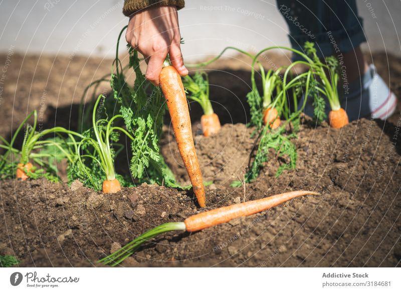 Getreidefrau beim Ernten von Karotten im Garten Frau Möhre Erde ziehend sitzen Sonnenstrahlen Tag Bauernhof organisch Lebensmittel Gemüse Landwirtschaft Pflanze