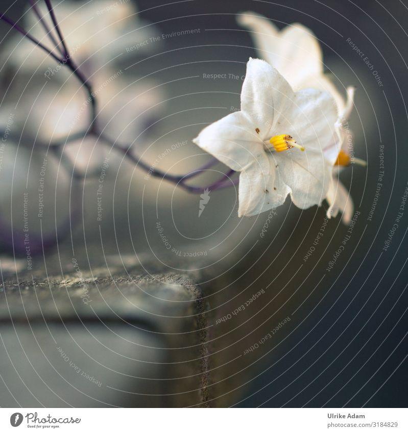 Blüte des Nachtschatten - Jasmin Unschärfe Hintergrund neutral Freisteller Textfreiraum unten Makroaufnahme Detailaufnahme Nahaufnahme Außenaufnahme Farbfoto