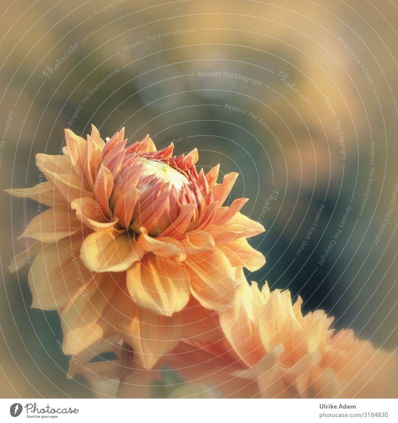 Nahaufnahme einer orangen Dahlie mit weichem Hintergrund Dahlien Dahlienblüte Blumen Blüte Sommerblumen leuchten floral Garten Bokeh Blütenblätter dahlia