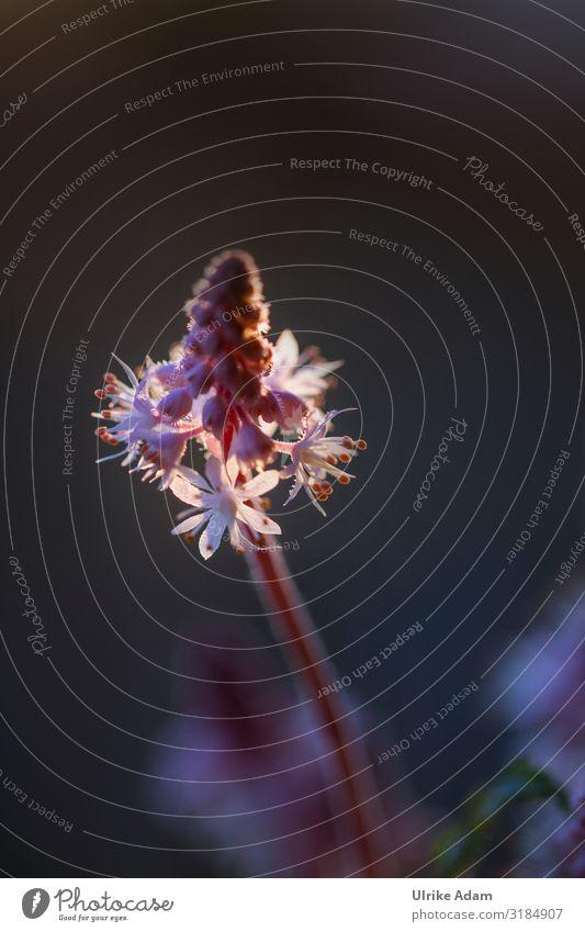 Frühling - Schaumblüten Design Wellness harmonisch Zufriedenheit Erholung ruhig Meditation Spa Tapete Trauerkarte Valentinstag Muttertag Geburtstag Trauerfeier