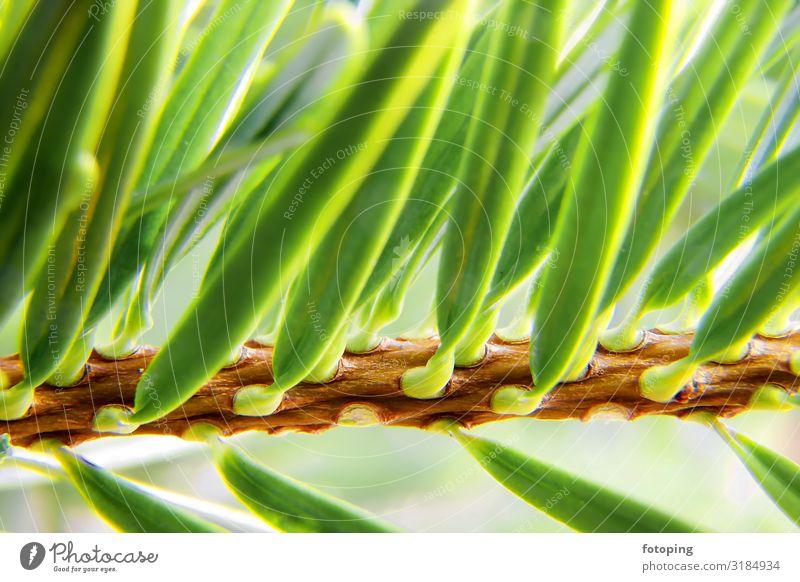 Weihnachten Weihnachten & Advent Natur Pflanze Baum grün Weihnachtsbaum Fichte Nadel Nadelbaum Nadeln Nordmanntanne Tanne Tannennadel Tannenzweig Zweig fotoping