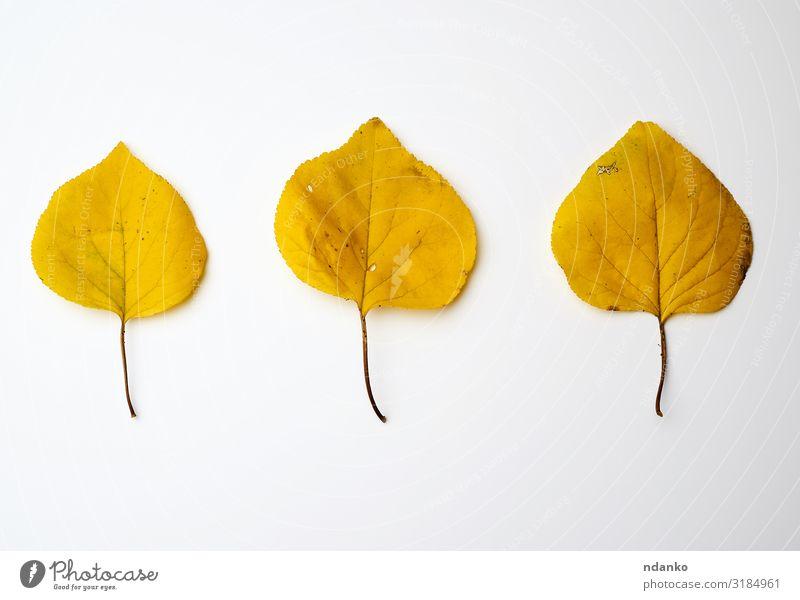 drei gelbe getrocknete Aprikosenblätter Garten Umwelt Natur Pflanze Herbst Baum Blatt frisch hell natürlich gold grün weiß Farbe Hintergrund Botanik Entlaubung
