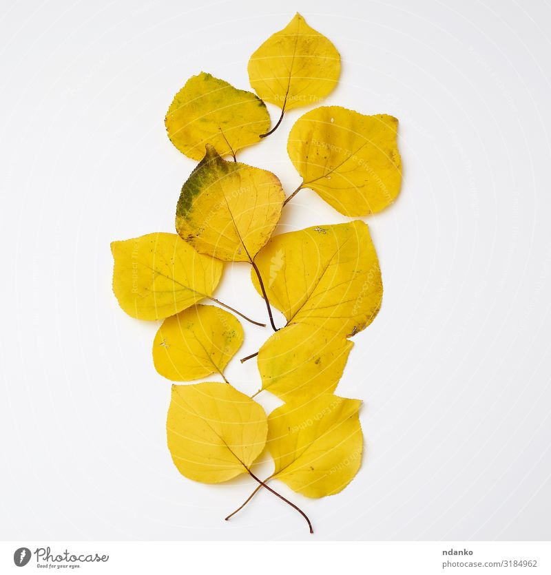 viele vergilbte trockene Aprikosenblätter Garten Umwelt Natur Pflanze Herbst Baum Blatt Wachstum frisch hell natürlich gelb gold grün Farbe Hintergrund Botanik