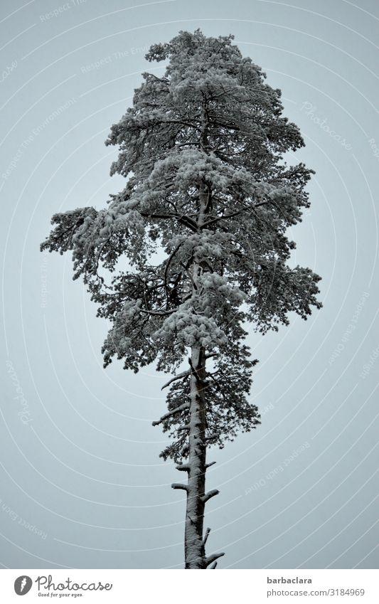 Stattliche Kiefer im Winter Urelemente Himmel Schnee Baum stehen groß hoch kalt blau weiß Farbfoto Gedeckte Farben Außenaufnahme Detailaufnahme Muster